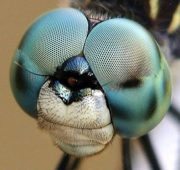 How Flies Eyes work Fly Eyes